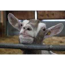 Genevieve Goat (Large Print)