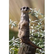 Meerkat (Large print)