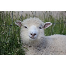 Smiling Lamb (Large print)