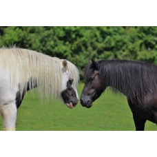 Two Gazing Horses (large print)