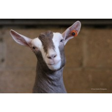 Cutest Ever Goatling (Large Print)