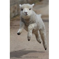 Leaping Lamb (Large Print)