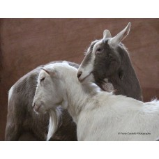Saanen and Toggenburg Goats (Large Print)